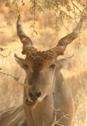 la plus grande des antilopes