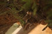 Chevêchette perlée