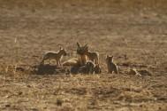 Cape Fox/Renard du Cap