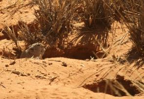 Rat siffleur de Brant