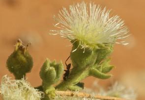 fleur et fourmi