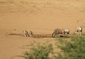 Springbok+Gnou+Oryx