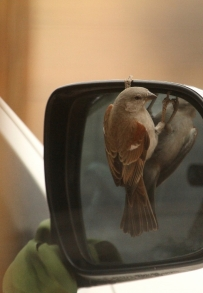 Southern Grey-headed Sparrow/Moineau Sud-Africain