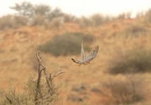 Red-necked Falcon/Faucon chicquera?????
