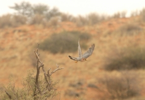 Red-necked Falcon/Faucon chicquera?????