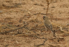 Scaly-feathered Finch/Sporopipe squameux