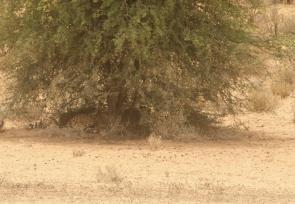 Cheetah - HANRI (fille de Lisette)(Batulama/Montrose)