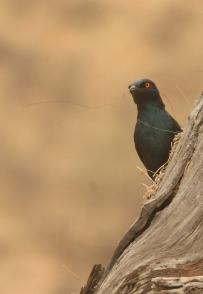 Cape Glossy Starling/Choucador à épaulettes rouges
