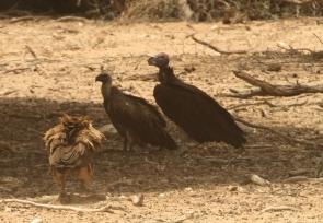 White-backed Vulture+Oricou/Vautour+Tawny