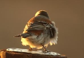 Moineau mélanure/Cape Sparrow