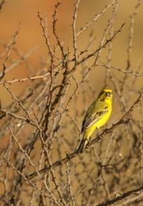 Yellow Canary/Serin de Ste Hélène