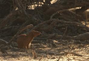 Slender Mongoose/Mangouste rouge/mince