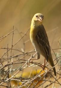 Yellow Canary/Serin de Ste-Hélène