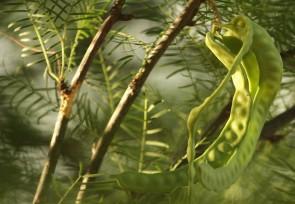 Prosopis glandulosa, graine