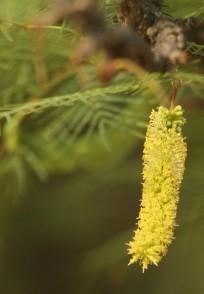 Prosopis glandulosa, fleur