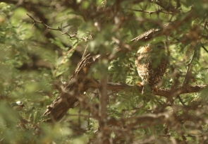 Pearl-spotted Owlet/Chevêchette africaine