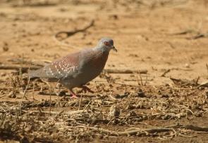 Speckled Pigeon/Pigeon Roussard