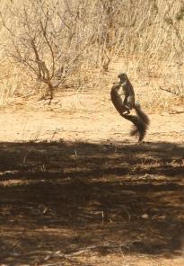 Ground Squirrel/Ecureuil fouisseur???
