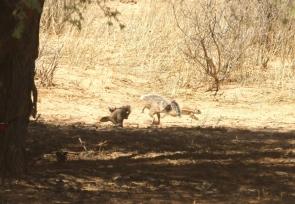 Ground Squirrel/Ecureuil fouisseur