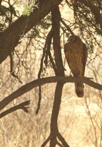 Pallid Harrier/Busard pâle