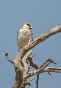Pygmy Falcon/Fauconnet d'Afrique??