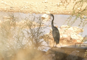 Black headed Heron/Héron mélanocéphale