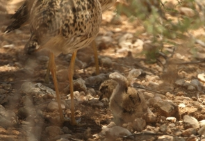 Spotted Thick-Knee/Oedicnème tachard +poussins