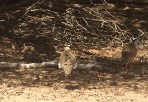 Crowned Plover/Vanneau couronné