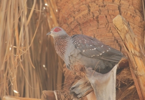 Speckled Pigeon/Pigeon roussard??