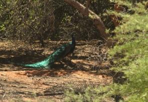 Peacock/Paon