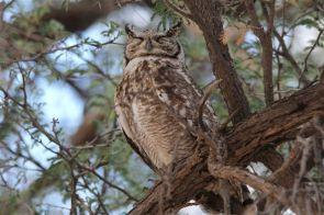 Spotted Eagle-Owl, le père