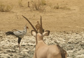Oryx, Secrétaire et Tawny Eagle
