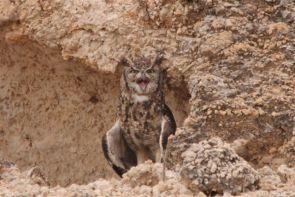 Spotted Eagle-Owl,  la mère