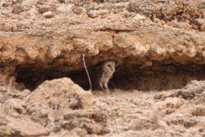 Barn Owl/Chouette effraie, à 50 m. !