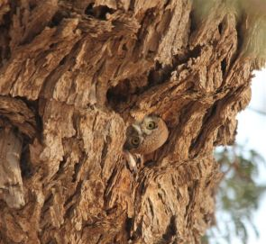 Pearl-spotted Owlet at Craig Lockardt