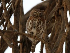 Pearl-spotted Owlet at Craig Lockardt... mum appelle