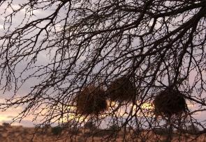 nids de Mahali à sourcils blancs