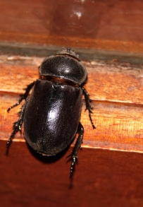 Rhino beetle group in the Dynastinae subfamily