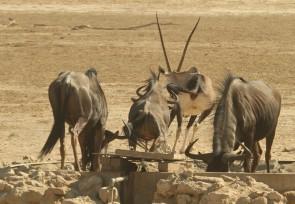 Oryx et Gnou