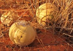 Tsamma melon
