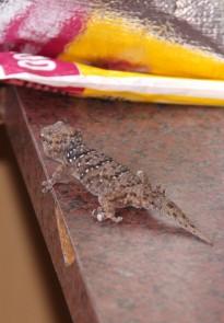 Biberon Gecko