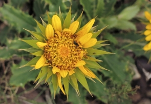 Giant Capethistle