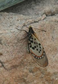 Acraea horta -Garden Acraea (Papillon)