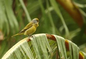 Cape Canary/Serin du Cap