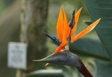 Strelitzia reginae/Oiseaux de paradis