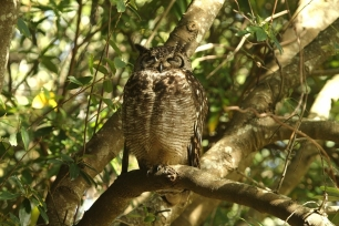 Spotted Eagle-Owl/Grand-Duc africain - DAD