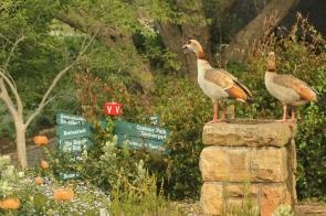 Egyptien Goose/Ouette d'Egypte
