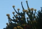 Protea - Pincushion Bobbejaanklou Leucospermum cordifolium (Luisiesboom)