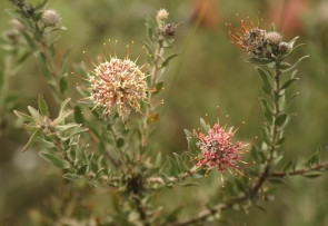 Protea - Arid Pincushion