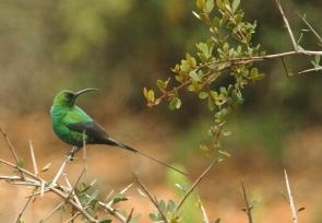 Malachite Sunbird/Souimanga malachite